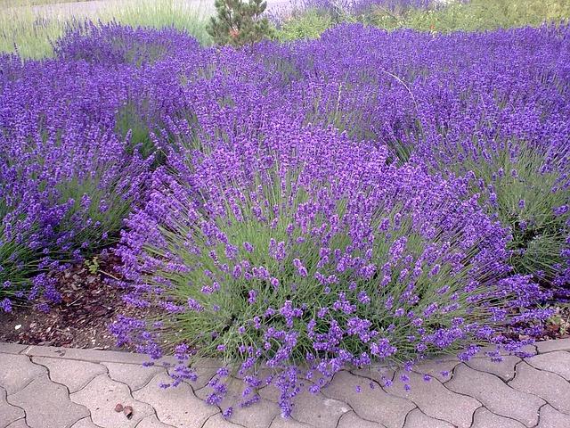 Hoe en wanneer een lavendel snoeien?